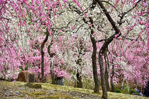2017_0305_142723 梅の花の雨が降るような