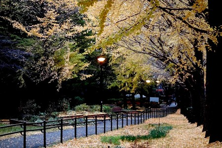銀杏並木 (2)