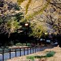 写真: 銀杏並木 (2)