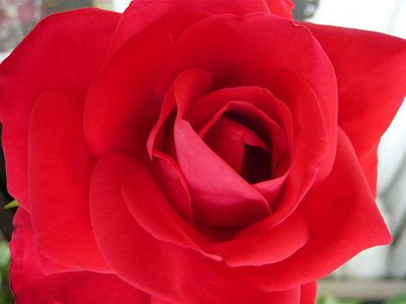 ベランダの薔薇-宴-04