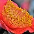 写真: DSC_0533 いのくち椿祭り