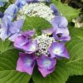 写真: 紫陽花(16*0616*1)