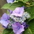 写真: 紫陽花(16*0616*2)