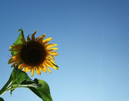 向日葵と青空