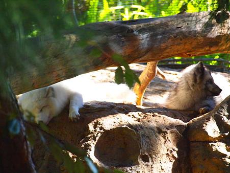 ぐったり北極狐