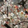 梅は咲いたか・・・ (1)