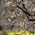 梅は咲いたか・・・ (2)