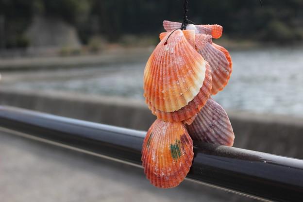 写真: ヒオウギ貝1