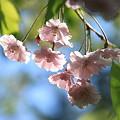 今咲いて 枝垂れ桜~~