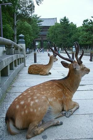 04東大寺前の鹿