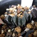 写真: truncata minor