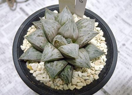 Haworthia GINSEKAI