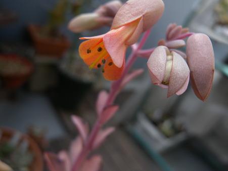 Kalanchoe crenata