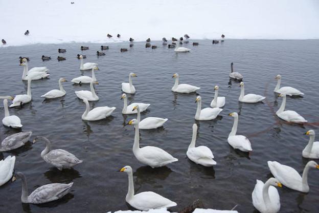 s7763_屈斜路湖の白鳥たち