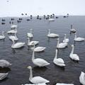 Photos: s7763_屈斜路湖の白鳥たち