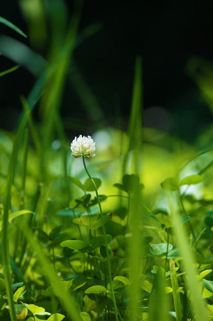 草叢の白詰草