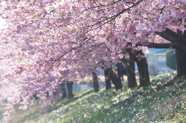 きらきらの桜並木