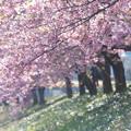 写真: きらきらの桜並木