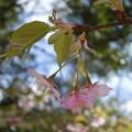 葉と共に咲く桜