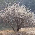 写真: ネコヤナギ大木