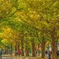 写真: 北海道大学の紅葉