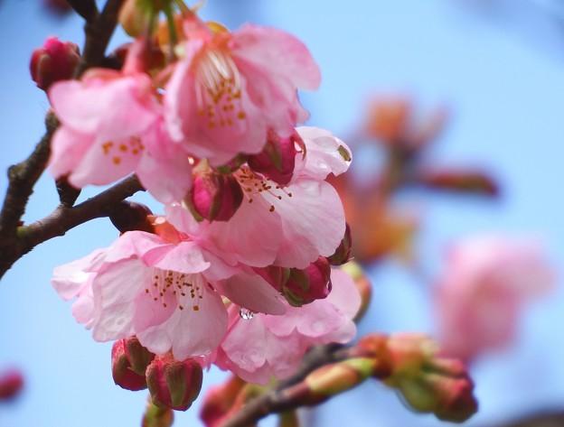 伊那小沢駅の寒桜