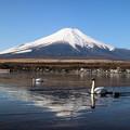 写真: 富士山と白鳥