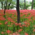 Photos: 160926-巾着田 (111)