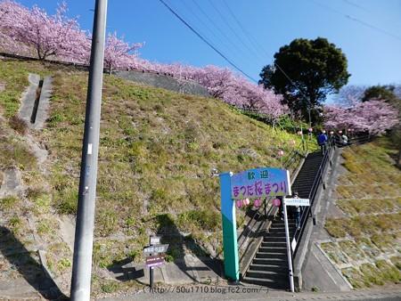 170228-松田町 河津桜 (4)