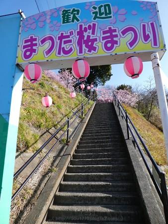 170228-松田町 河津桜 (5)
