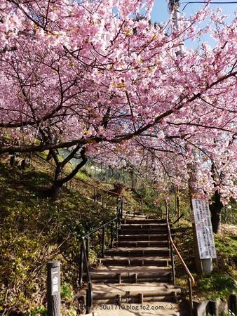 170228-松田町 河津桜 (14)