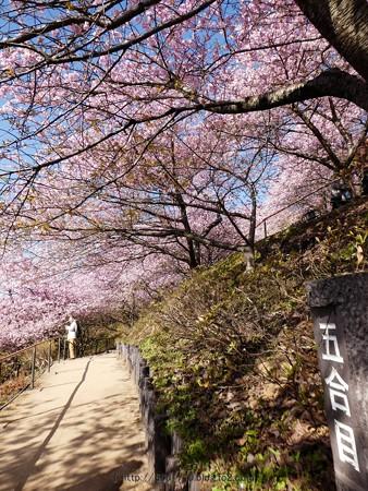 170228-松田町 河津桜 (36)
