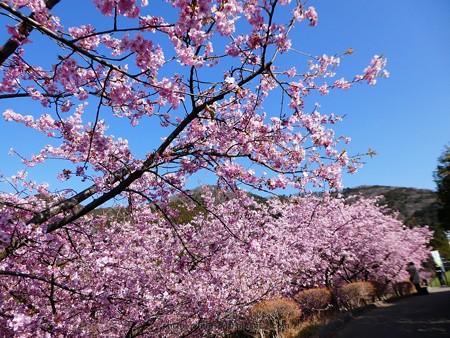 170228-松田町 河津桜 (127)