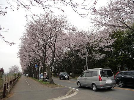 100404-海軍道路の桜 (12)