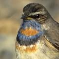 Photos: Bluethroat1738signed