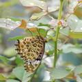 Photos: 雨宿り中の蝶