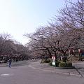 Photos: 上野公園の桜状況