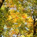 写真: 美人林の黄葉