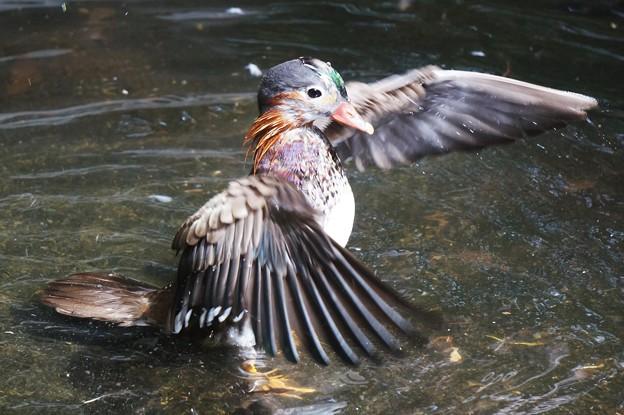 オシドリの若鳥
