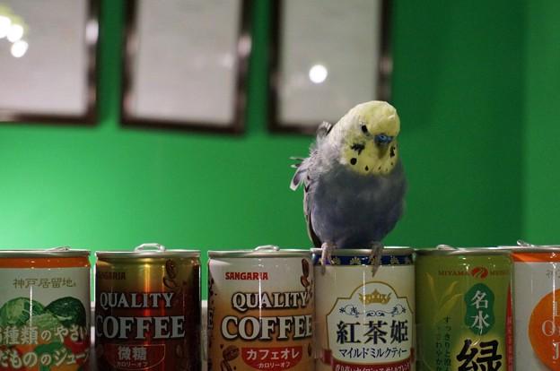 紅茶党なセキセイインコ@PARROT CAFE