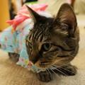 Photos: 浴衣猫@ねこのみせ