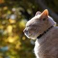 写真: 紅葉と猫2