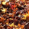 写真: 紅葉の絨毯1