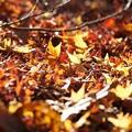 写真: 紅葉の絨毯2