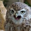 写真: 小さくても猛禽類