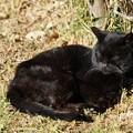 Photos: 日向の黒猫
