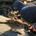 スズメとカワラバト
