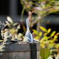 早春のシジュウカラ2