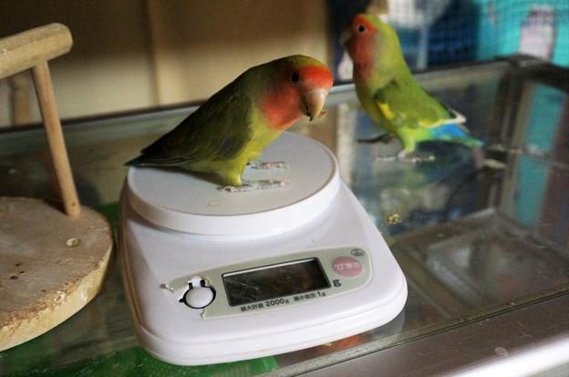 体重測定中のコザクラインコ