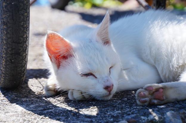 沖島のネコたち_6